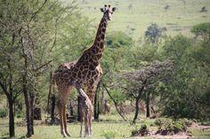 Bienvenue en Tanzanie Travel Tours, Air Travel, Giraffe, Safari, World, Videos, Animals, Tanzania, Welcome