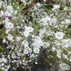 Gypsophila paniculata 'Bristol Fairy' - Jacksons Nurseries