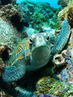 In your face sea turtle - tartaruga verde Turtle Love, Green Turtle, Animals Beautiful, Cute Animals, Wild Animals, Baby Animals, Fauna Marina, Life Under The Sea, Underwater Life