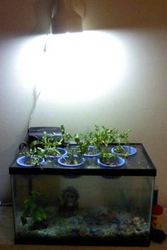 Mini Aquaponics system we made today... 10-gallon tank, plexiglas, recycled lamp, recycled blue tubs, gravel, some sort of zebra fish my husband picked, and watercress. Symbiotic! :)