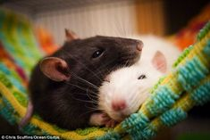 What do rats dream of? Sweet treats! Rodents rehearse journeys to find their favourite snacks while resting, study reveals