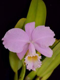 Cattleya warneri concolor | *Kytta* | Flickr