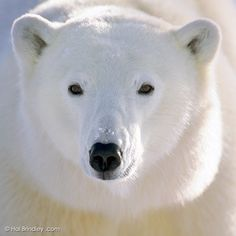 """""""The Great White Bear"""" by Hal Brindley."""