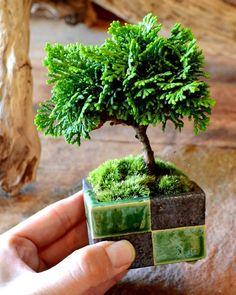秋晴れのポカポカした陽気で、お店の作業もはかどります(^-^) 市松模様の器に植え込まれた津山ヒノキも仲間入りしていますー。 #津山檜 #盆栽 #bonsai…