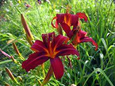 Image result for hemerocallis daylily
