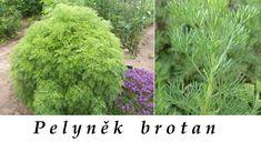http://www.bylinkyprovsechny.cz/byliny-kere-stromy/byliny/144-pelynek-brotan-ucinky-na-zdravi-co-leci-pouziti-uzivani-vyuziti