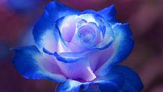 Beautiful Roses | Top Ten Roses - Top 10 Beautiful Flowers