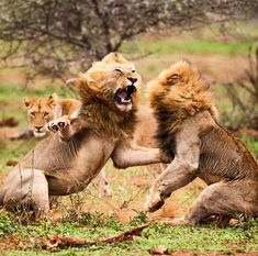 Awesome sighting of two huge male lions fighting over who gets to mate with the hot female in the background, Kruger National Park, South Africa. Photo by latestkruger (Instagram)