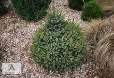 Picea omorika 'Peve Tijn' (P. o. 'Tijn') -  Ель сербская 'Peve Tijn'