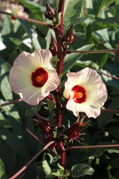 Time to harvest the tea! Hibiscus tea is caffeine free and delicious!