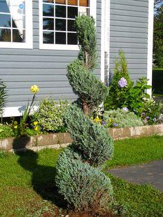 Love my new Spiral tree - Juniper 'Skyrocket'