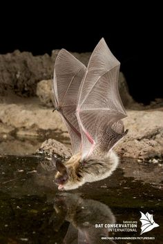 What a stunning photo. Bat caught in flight swooping down to take a drink!