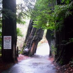 Drive Thru Tree ~ Ave. of the Giants