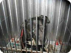 Please share this sad and defeated senior. His family doesn't want him anymore and it seems that no one else does either! Senior, pit bull terrier, black, male. Shelter: North Central Animal Care Center - Los Angeles Animal Services. Pet ID #: 6800307-A1468158. Phone: (888) 452-7381 ext.141 Address: 3201 Lacy Street Los Angeles, CA 90031 PLEASE SHARE FOR HELP!!!