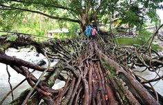 Ponte feita com as raízes de uma árvore na Indonésia