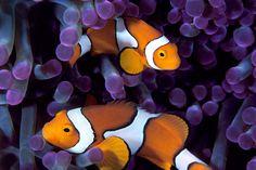 clown fish in sea anemone Underwater Photographer, Underwater Photos, Clown Fish, National Geographic, Sea Anemone, Clownfish Anemone, Mermaid Under The Sea, Saltwater Aquarium, Photography Portfolio