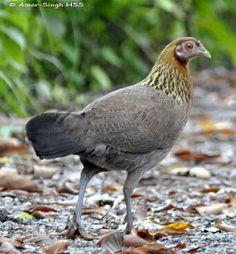 Red Jungle Fowl (Gallus gallus) - Google Search