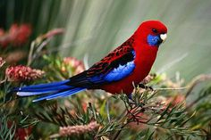 5 Lesser Known Bird Species That Make Great Pets: Crimson Rosellas Rare Birds, Exotic Birds, Colorful Birds, Pretty Birds, Beautiful Birds, Animals And Pets, Cute Animals, Birds For Sale, Australian Birds