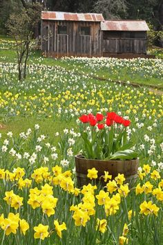 Daffodil Hill - Gold Country, Jackson, California -- by photoray (Yes, this is what spring looks like in Northern California! Country Barns, Old Barns, Country Life, Country Living, Beautiful Gardens, Beautiful Flowers, Beautiful Places, Champs, Down On The Farm