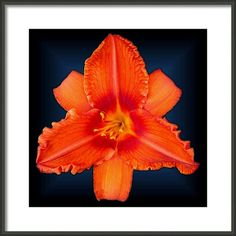 Rocket Orange Daylily by Tara Hutton. This orange beauty is direct from my Michigan garden. The name of this variety is Rocket Orange, the blooms are large, showy and quite visible even when viewed from a far distance. #RocketOrangeDaylily #TaraHutton #FramedArtPrint #Orange #Lily #Garden #Flower #Floral #FineArtAmerica