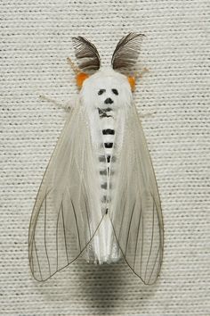 clearwing tussock moth