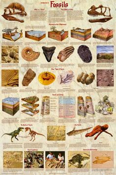 """Do you """"dig"""" dinosaurs..? If so, then you'll love this great infographic poster about fossils and dinosaur evolution. Fully licensed. Ships fast. 24x36 inches. Check out the rest of our amazing select"""