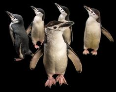 photo by @joelsartore | Check out these #adorable chinstrap penguins at @newport_aquarium. They can dive up to 230 feet into the icy waters of the Antarctic Ocean! #Follow me @joelsartore to see more members of the #PhotoArk. #joelsartore #photooftheday #penguin by natgeo