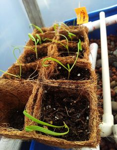 Get a huge head-start on spinach!  ) Growing Spinach a0d301b44
