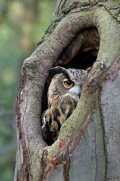 owl incognito! I always look at the holes in tree trunks when I am walking in the woods for a chance to see one of these beautiful winged creatures ♥