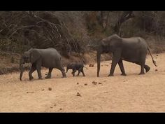 Cute Newborn Baby Elephant need Moms help - Kruger National Park. Newborn elephant which still has the umbilical cord attached, tries to climb up an embankment.