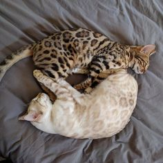 Yin Yang bengals - aww Cute Little Animals, Cute Funny Animals, Cute Cats, Adorable Kittens, Pretty Cats, Beautiful Cats, Animals Beautiful, Baby Cats, Cats And Kittens