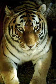This is a beautiful tiger