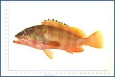 Epinephelus fasciatus - Blacktip Grouper 紅釘