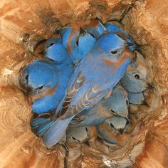 Roosting Bluebirds