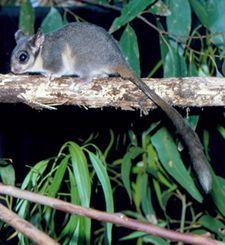 The Leadbeaters Possum