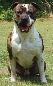 A beautiful male American Bulldog.