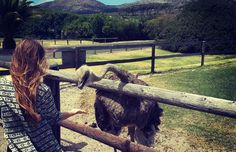 Are you brave enough to feed and Ostrich?