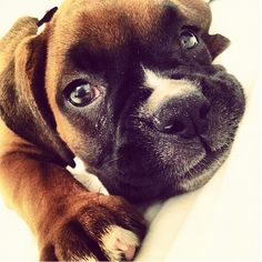 Baby Boxer face! - squishy face!! <3