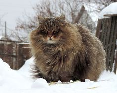 Siberian Cat - how much would i love to cuddle this guy!: Winter, Siberian Forest Cats, Norwegian Forest Cat, Snow, Chat, Kitties, Siberian Cats, Hairy Animals