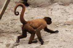 monkey tail - Google Search