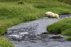 Sheep leaping over a creek in Iceland. By Wendy Quadling, Photos Of The Week, Great Photos, Old Superman, Superman Movies, Angora Bunny, Icelandic Sheepdog, Counting Sheep, Lord Is My Shepherd, Image Title