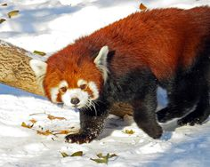 Red Panda——Loving the Snow (by njchow82)