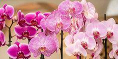 🌺🌸🌻 Γοητευτική, πανέμοφη, ευαίσθητη και εντυπωσιακή! Η φροντίδα της ορχιδέας είναι σχετικά απλή, αρκεί να γνωρίζουμε πώς να την περιποιηθούμε σωστά. Πλήρης οδηγός για τις ορχιδέες με όσα πρέπει να γνωρίζουμε για να απολαμβάνουμε πολλά υπέροχα λουλούδια με μεγάλη διάρκεια.
