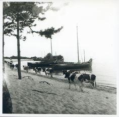 Nidden, Fischerboote und Kuhherde am Haff