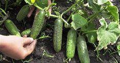 Ako zvýšiť úrodu uhoriek v dvoch krokoch! Growing Tomatoes, Growing Vegetables, Summer House Garden, Home And Garden, Coaster Crafts, Greenhouse Gardening, Small Farm, Diet And Nutrition, Vegan Life