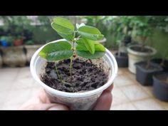 muda de jubuticaba - processo estaquia (parte1) - YouTube