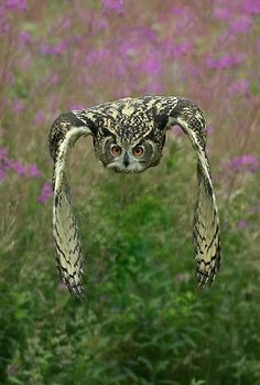 eagle owl, the great size, ear tufts and orange eyes make this a distinctive species