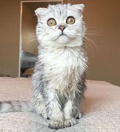 Butter looks just how Monday feels!  @butterfold . . . #catifyco #catsofinstagram #bestmeow #instagram #british #meow #kittens #kitty #cats #cute #ilovemycat #instagramcats #catloversclub #weeklyfluff #cutepetclub #petstagram #furry #catoftheday #instagood #instacat_meows #cat_features #love #lovecats #lovekittens #animaladdicts #igmeows #catsagram #photooftheday