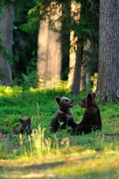Bear cubs playing in the Smoky Mountains