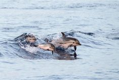 Taiji's Cruel Dolphin Drives Are Causing Far More Suffering Than We Thought Orcas, Far More, Network For Good, Sustainable Tourism, Animal Protection, Animal Welfare, Lonely Planet, Dolphins, Mammals